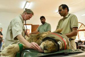 Dentsply Sirona Custom-made Files Used on Lions